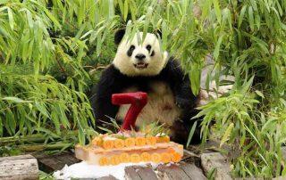 """Giant panda """"Mengmeng"""""""